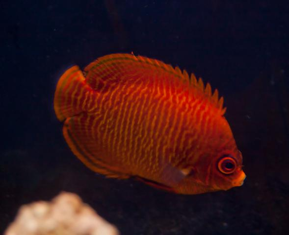The holy grail rare marine fish reef2reef saltwater for Red saltwater fish