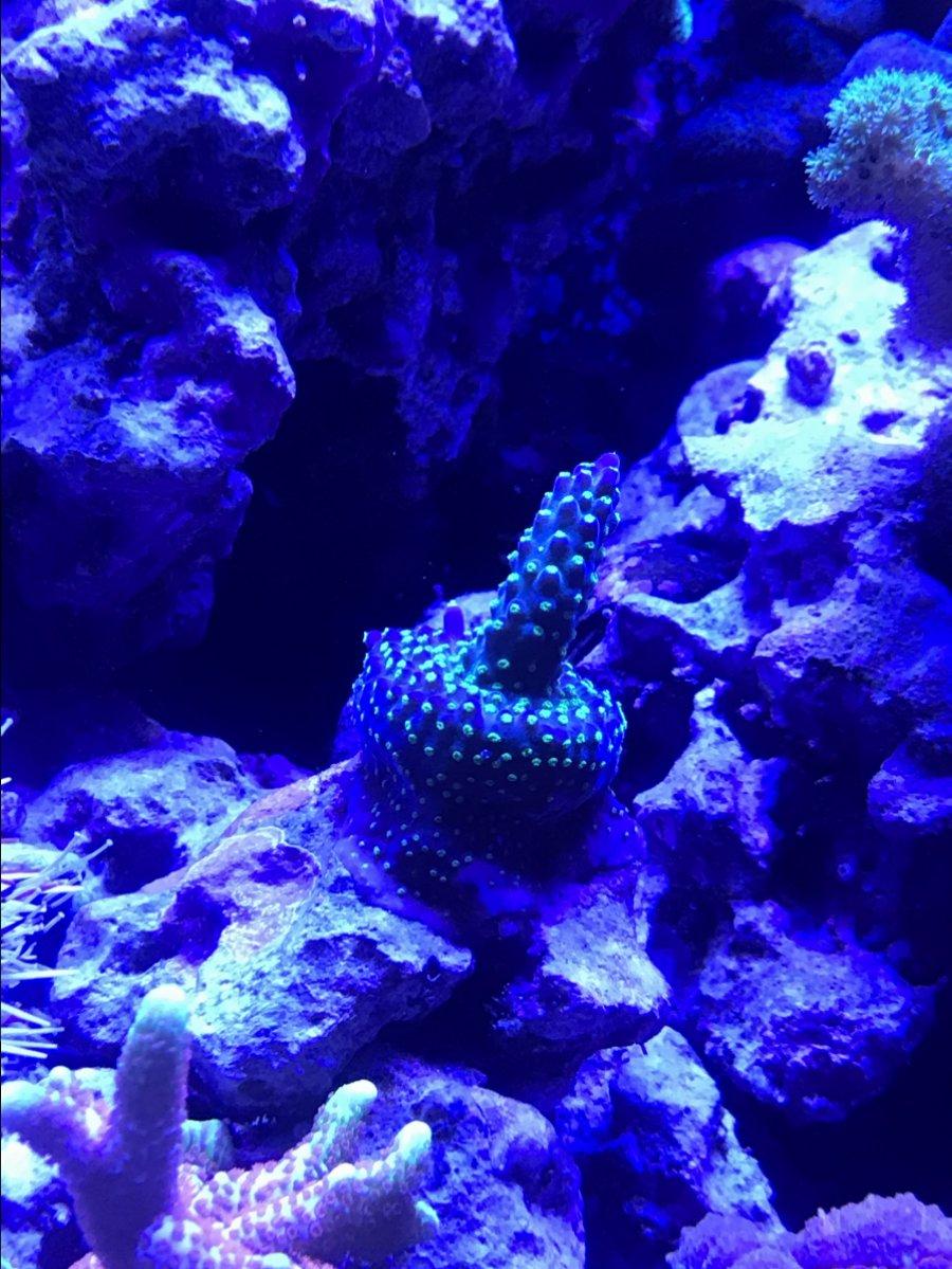 Garf Bonsai Acropora Not Growing Reef2reef Saltwater And Reef Aquarium Forum