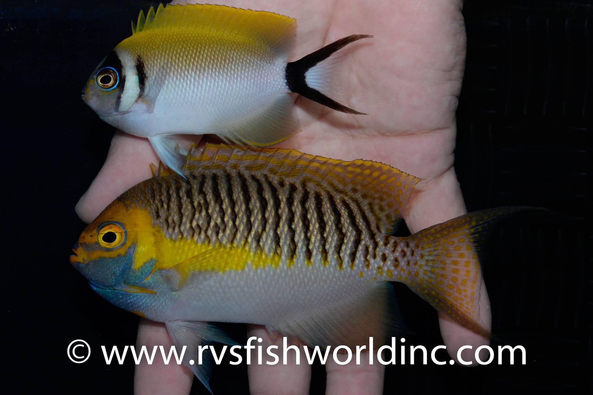 1-1-RVS-Genicanthus semifasciatus  Pair .jpg