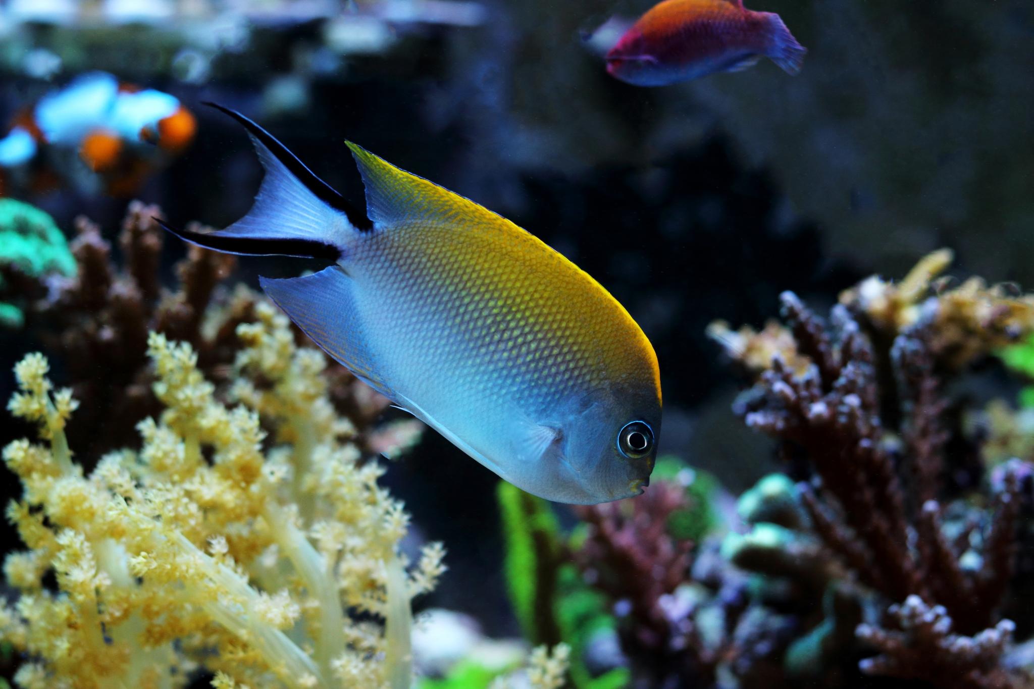 1-2-Fadi-Genicanthus melanospilos Female.jpg