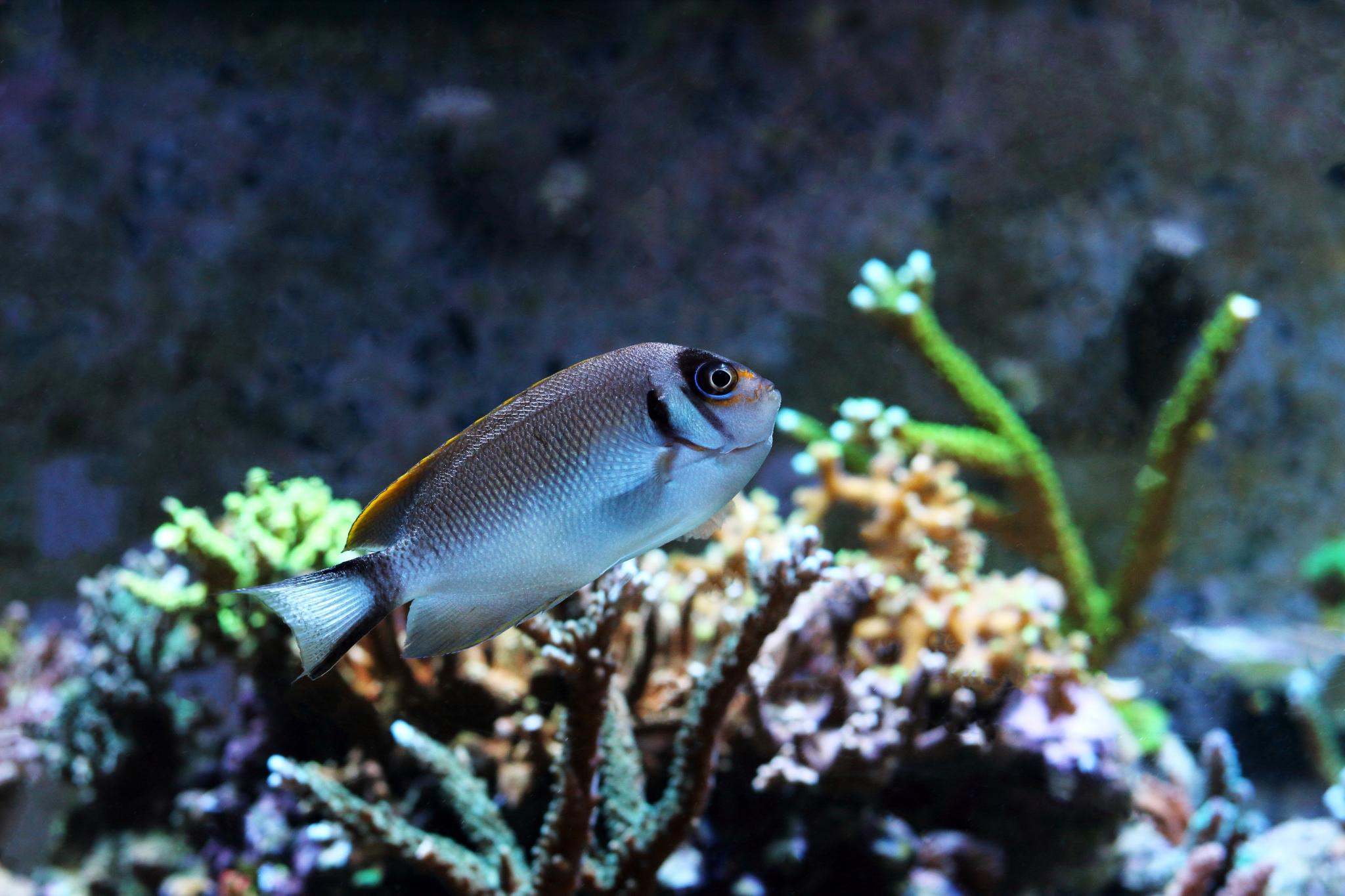 1-3-Fadi-Genicanthus semifasciatus Female.jpg