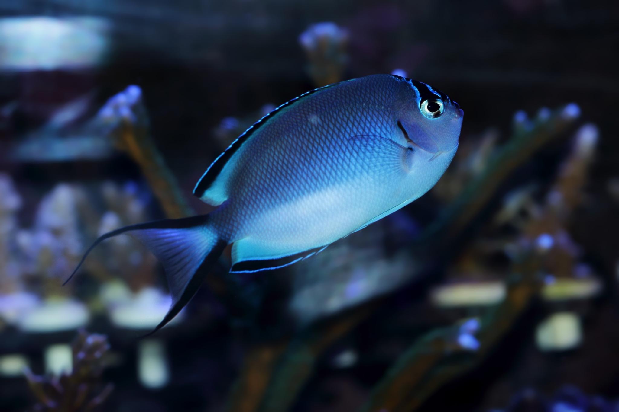 1-4-Fadi-Genicanthus watanabei Female.JPG
