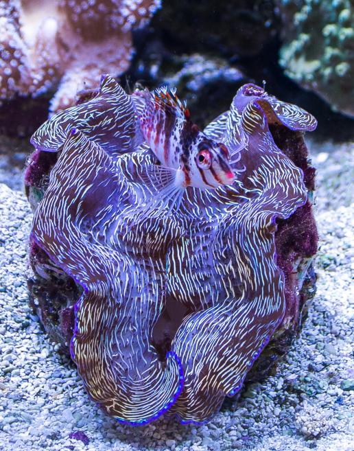 1 - clam -Dyonopses.jpg