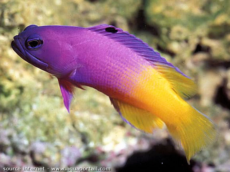 Something blue purple yellow bright vibrant fish that for Yellow saltwater fish