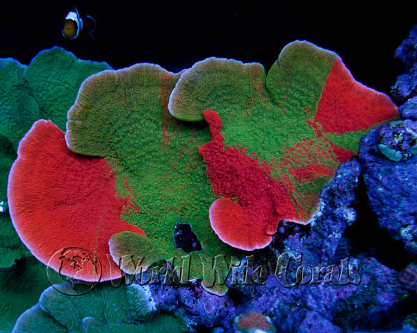 Grafting Corals The Art Of Coral Grafting Reef2reef