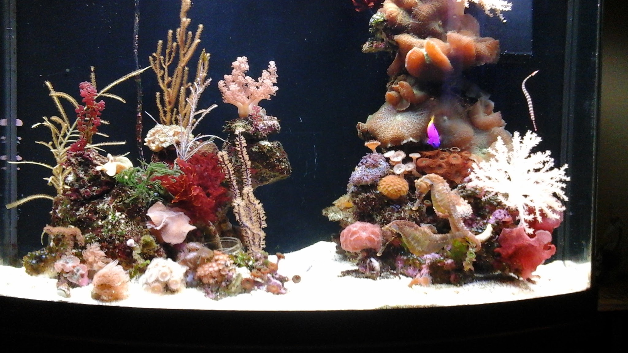 Keeping seahorses in aquaria 1 introduction and setting for Seahorse fish tank