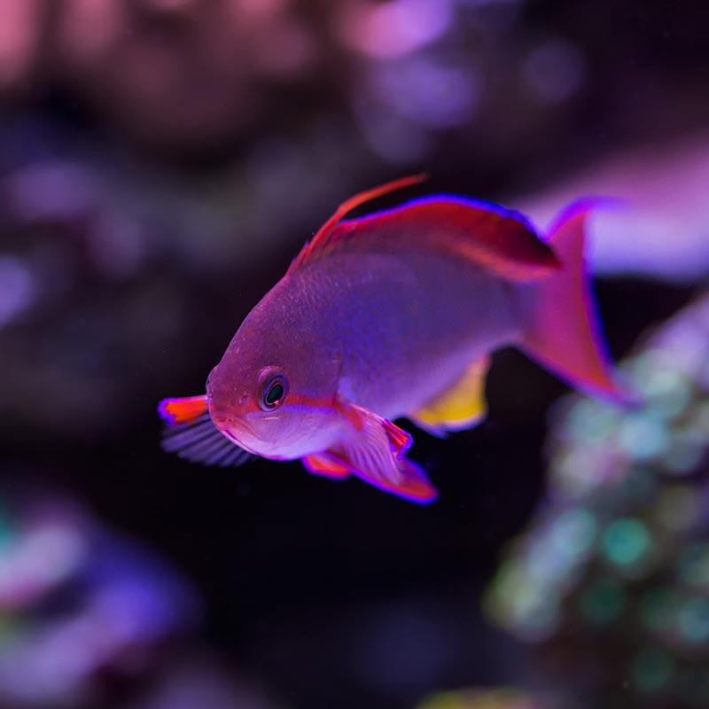 Who Is The King Of Your Reef Reef2reef Saltwater And Reef Aquarium Forum