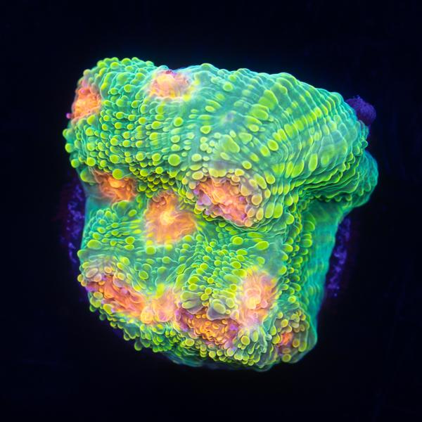 135-Bubblegum Monster Chalice.jpg