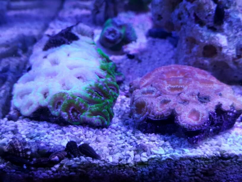 Bleaching/Bleached Acan   REEF2REEF Saltwater and Reef