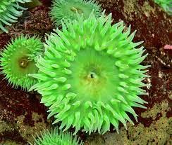 Anthopleura xanthogrammica - Wikipedia