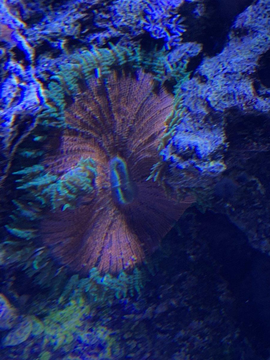 Rock Flower Anemone Eating Fish Reef2reef Saltwater And Reef Aquarium Forum