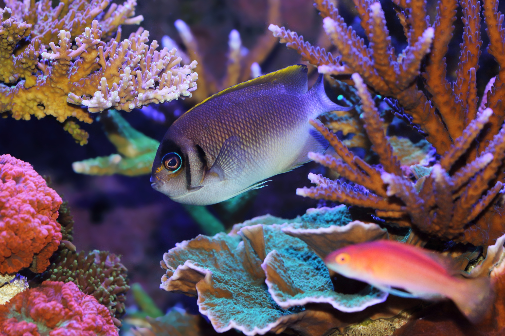 intermediate topic genicanthus angels the true reef safe angels