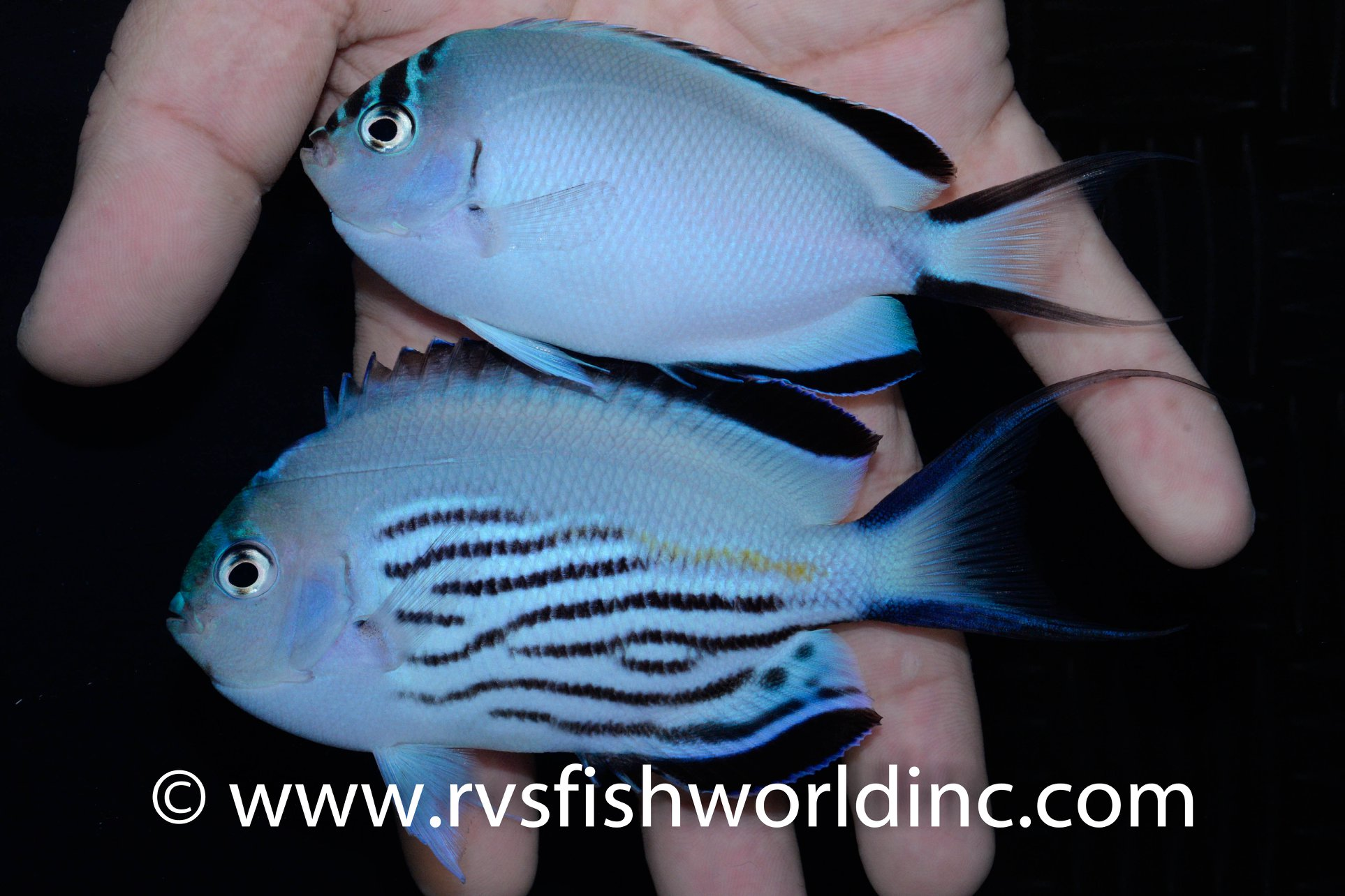 2-12-RVS-Genicanthus watanabei pair.jpg