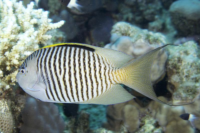 2-2-CC-Zsispeo- Genicanthus caudovittatus male.jpg