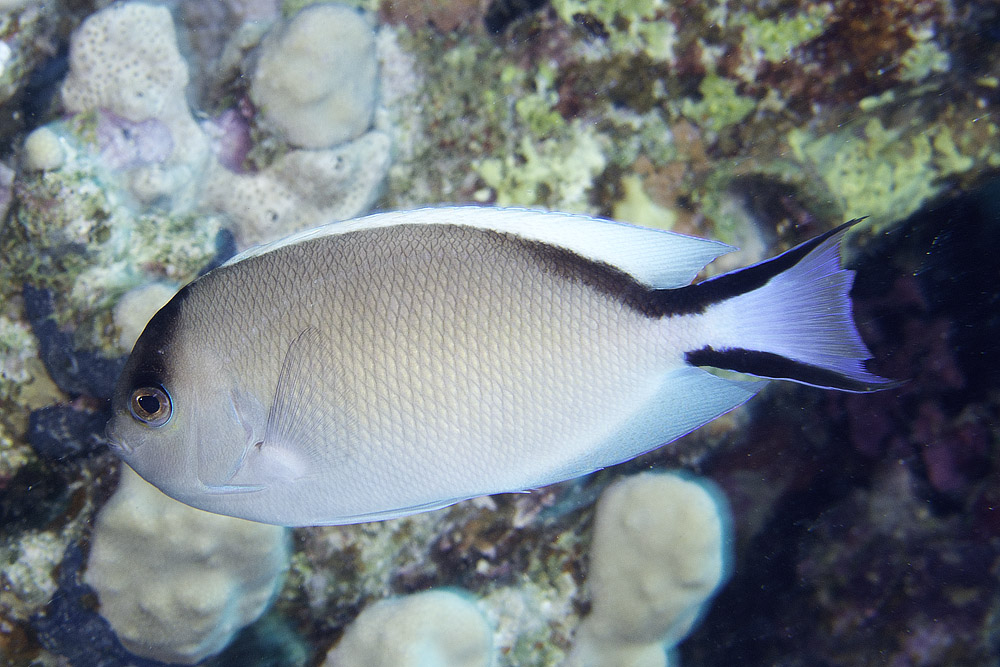 2-3-CC-Zsispeo- Genicanthus caudovittatus female.jpg