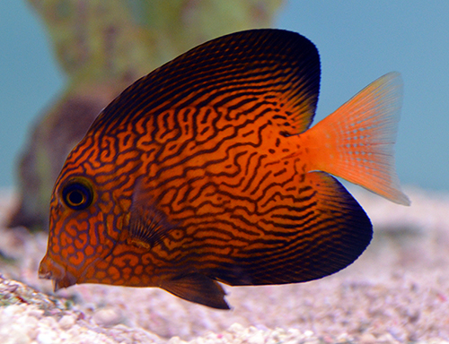 Why do the tang police exist reef2reef saltwater and for Tang saltwater fish