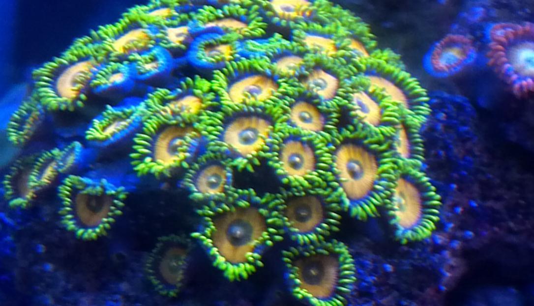 sponge bob zoas from california | REEF2REEF Saltwater and Reef ...