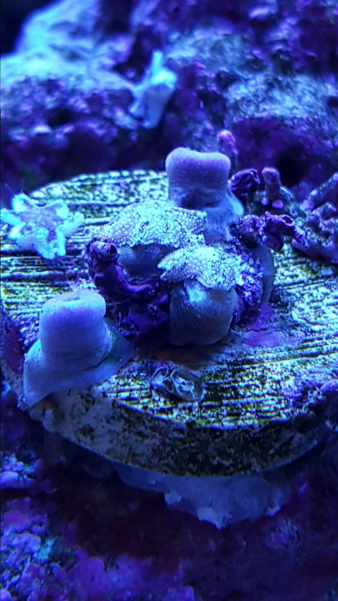 Asterina Starfish Eating Zoas Reef2reef Saltwater And