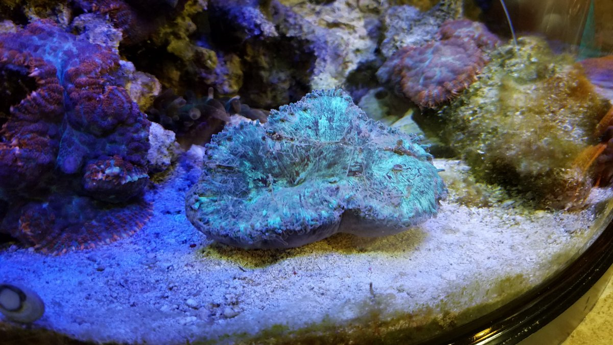 Elegance Coral Question Reef2reef Saltwater And Reef Aquarium Forum