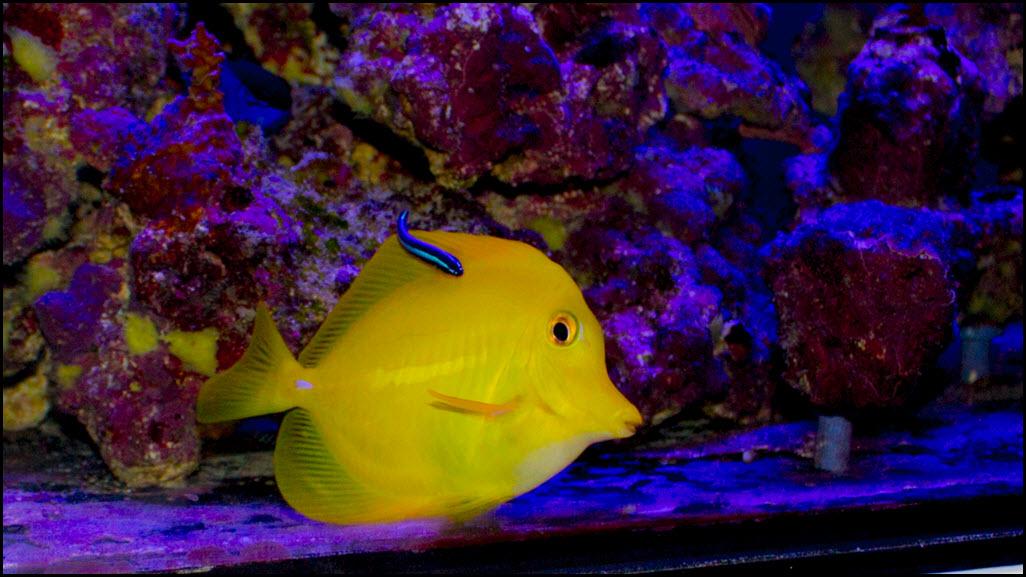 2019-04-24_NeonGoby-YellowTang.jpg