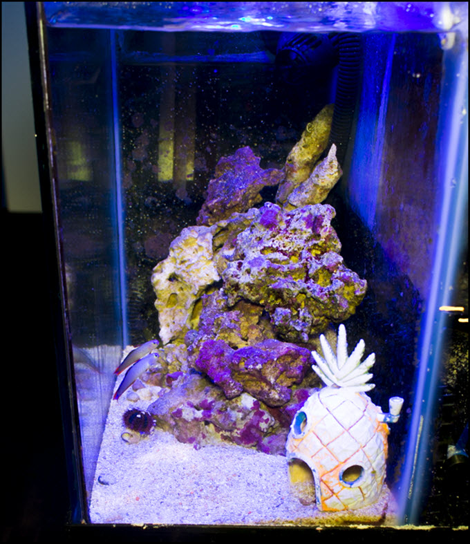 2019-06-29-PurpleFireFish-SPS-Refuge.jpg