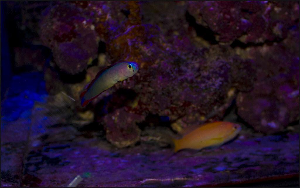 2019-10-01_PurpleFireFish1.jpg