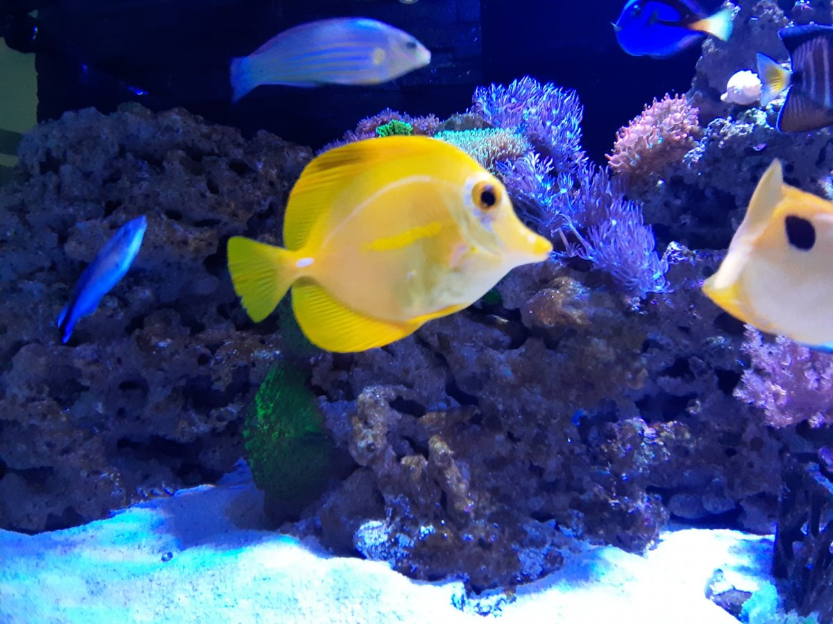 Yellow tang with HLLE? | REEF2REEF Saltwater and Reef Aquarium Forum