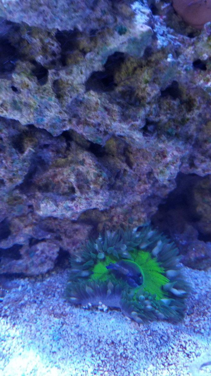 Rock Anemone Ate My Kole Tang Reef2reef Saltwater And Reef Aquarium Forum