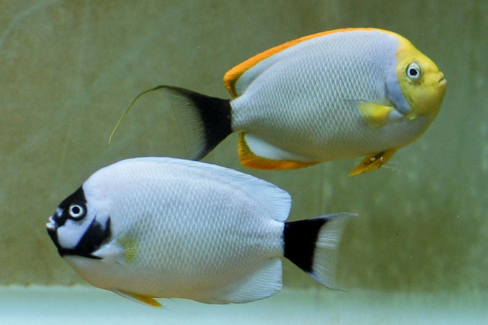 3-1-Chung Wing Hung-reefs com-Genicanthus personatus pair.jpg