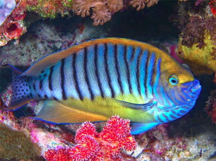 spotlight genicanthus angels the true reef safe angels part 3