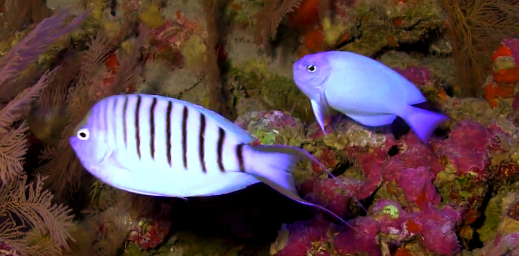 3-5-Association For MArine Exploration- Reefs com - genicanthus spinus.jpg