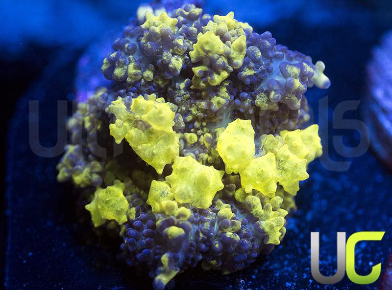 3-unsure-Plutonium-Bounce-maybe.jpg