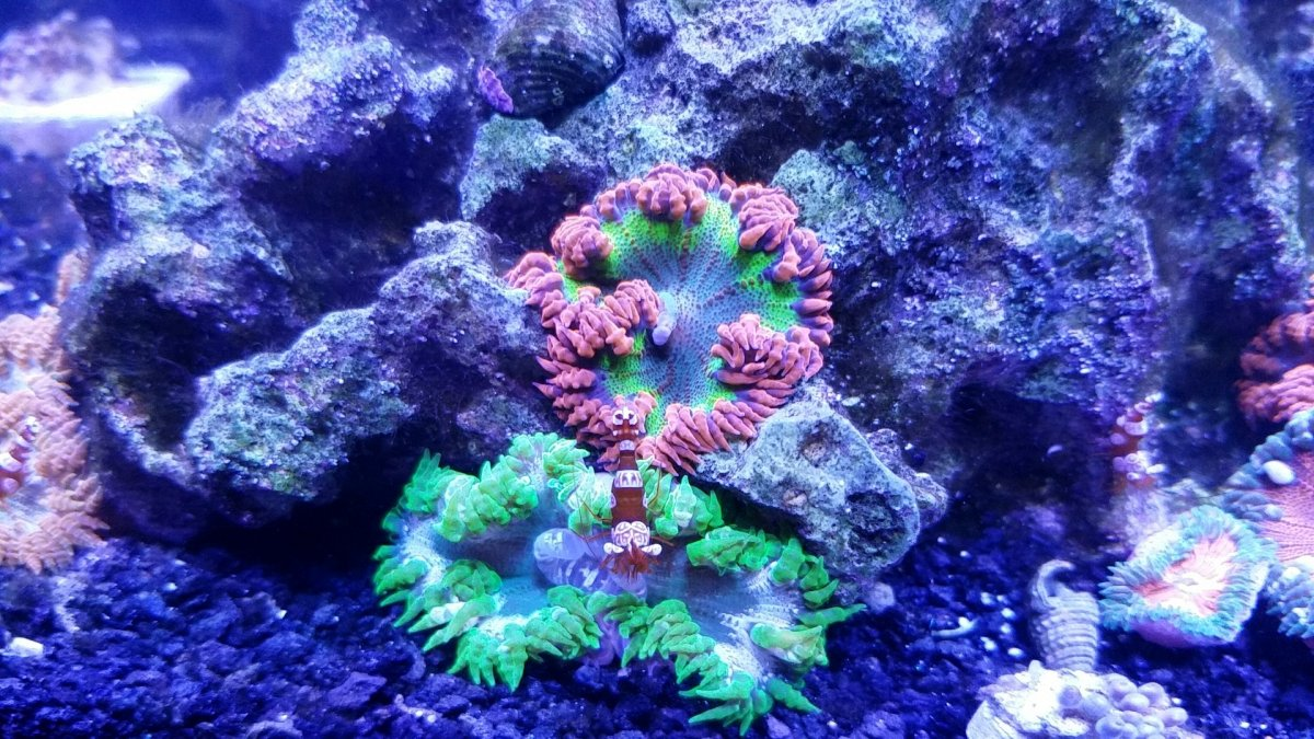 Anemone Only Tank Questions Reef2reef Saltwater And Reef Aquarium Forum