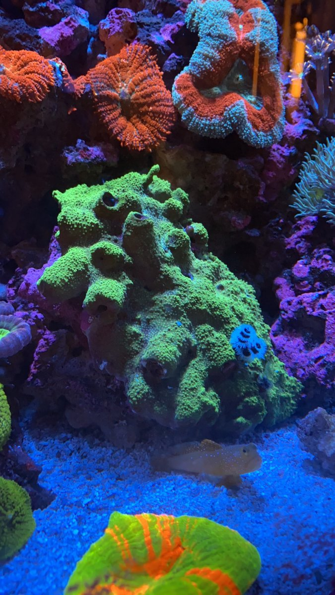 California - Christmas Tree worm rock, Rhodactis mushroom colony, Lobo, Scolys, ASD UFO ...
