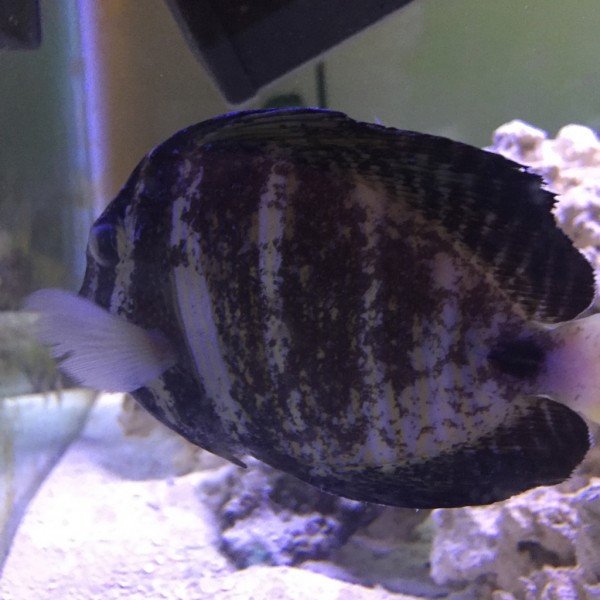 Bacterial infection from fish tank