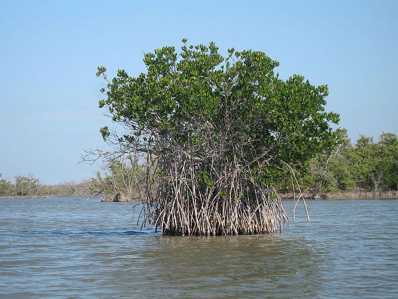 800px-Red_mangrove-everglades_natl_park.jpg