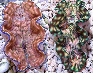 a-117-giant-clam-derasa2-1.jpg