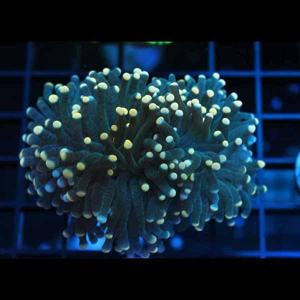 A3 Aussie Torch Coral 99-79.jpg
