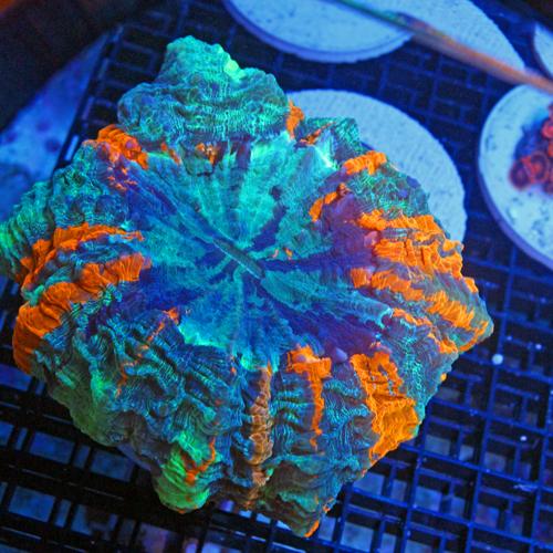 A501 photo 1 Large Meat Coral Acanthophyllia deshayesiana1500-750.jpg