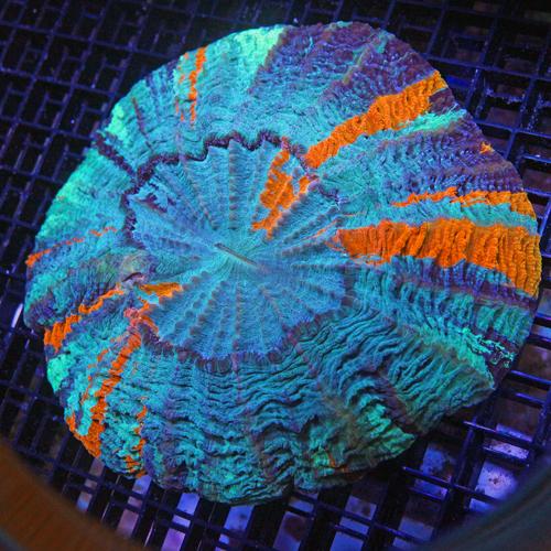 A503 XXL Meat Coral Acanthophyllia deshayesiana 1500-750.jpg