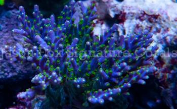 Identifcation Please Reef2reef Saltwater And Reef Aquarium Forum