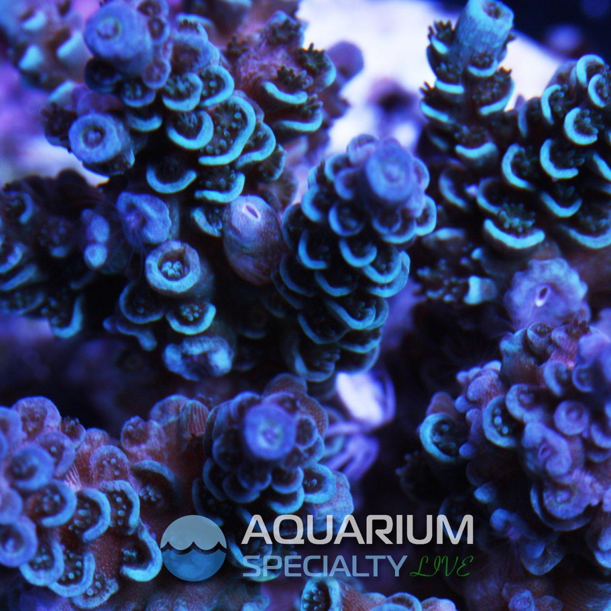 Acro-Sp-Colony-4-1.jpg