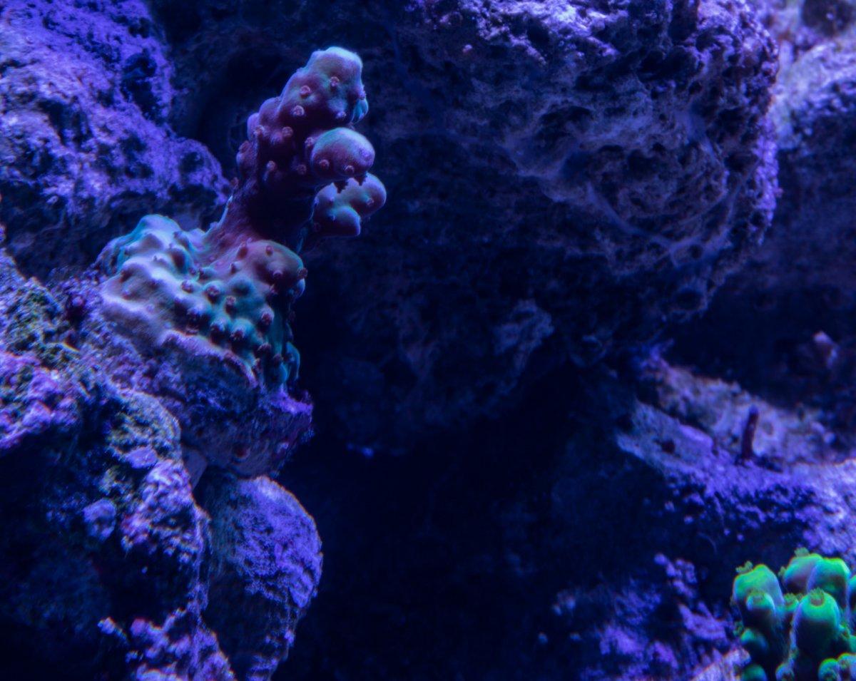 ambient-aquatics-grape-ape.jpg