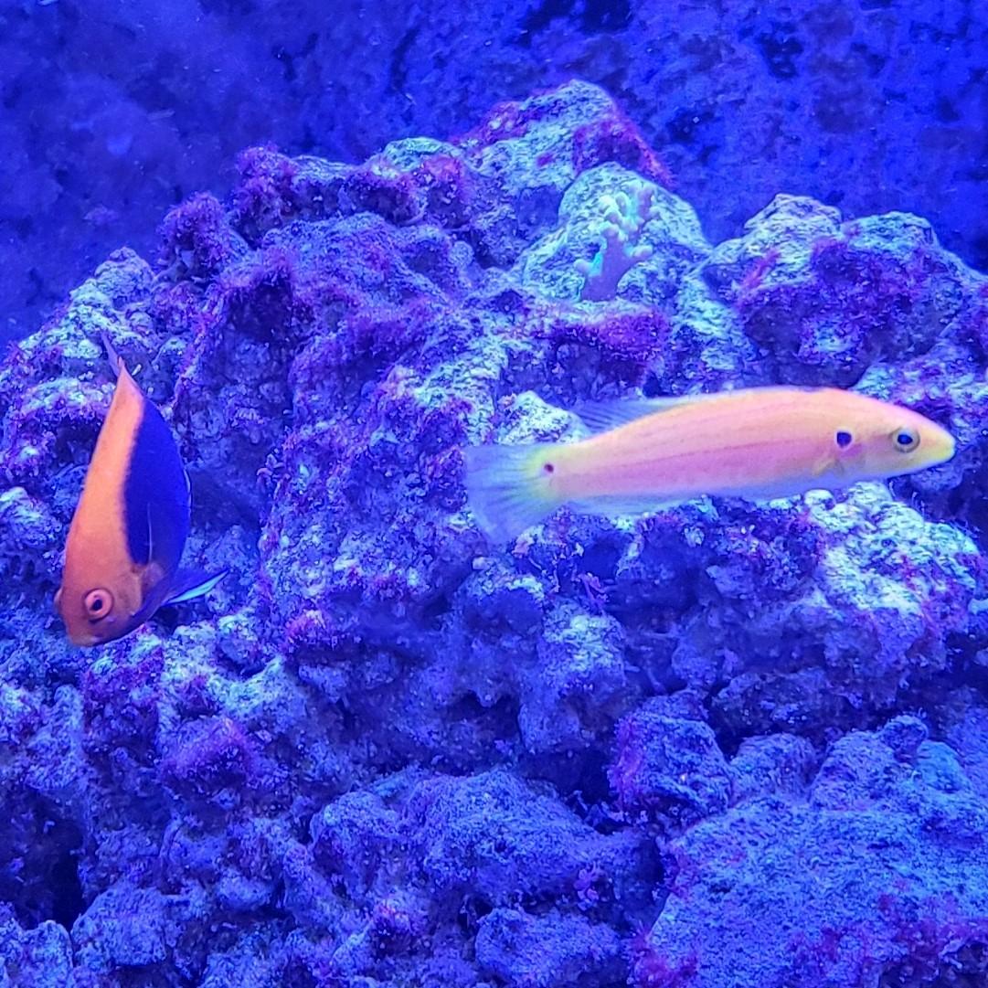 Angelfish & Hogfish 1.jpg