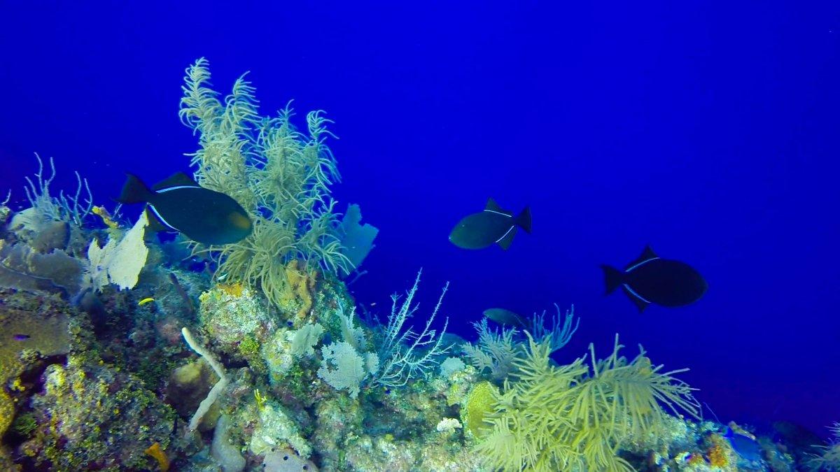 black durgeon triggerfish (1 of 1).jpg