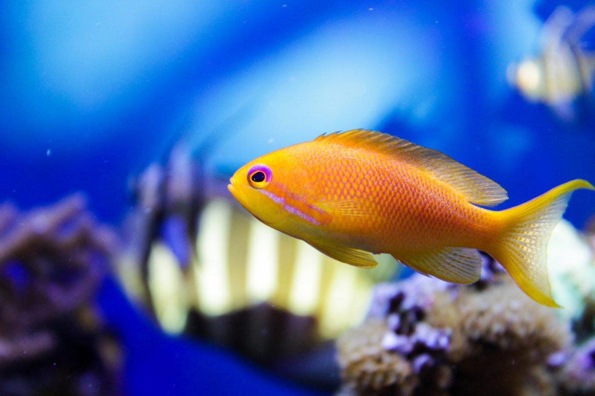 Blue Eyed Orange Anthias.jpg