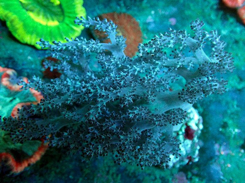 Blue Nephtheidae.jpg