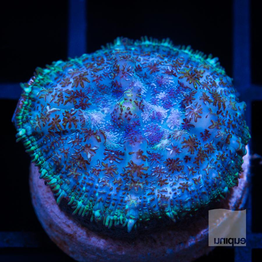 blue rhodactis 62 42.jpg
