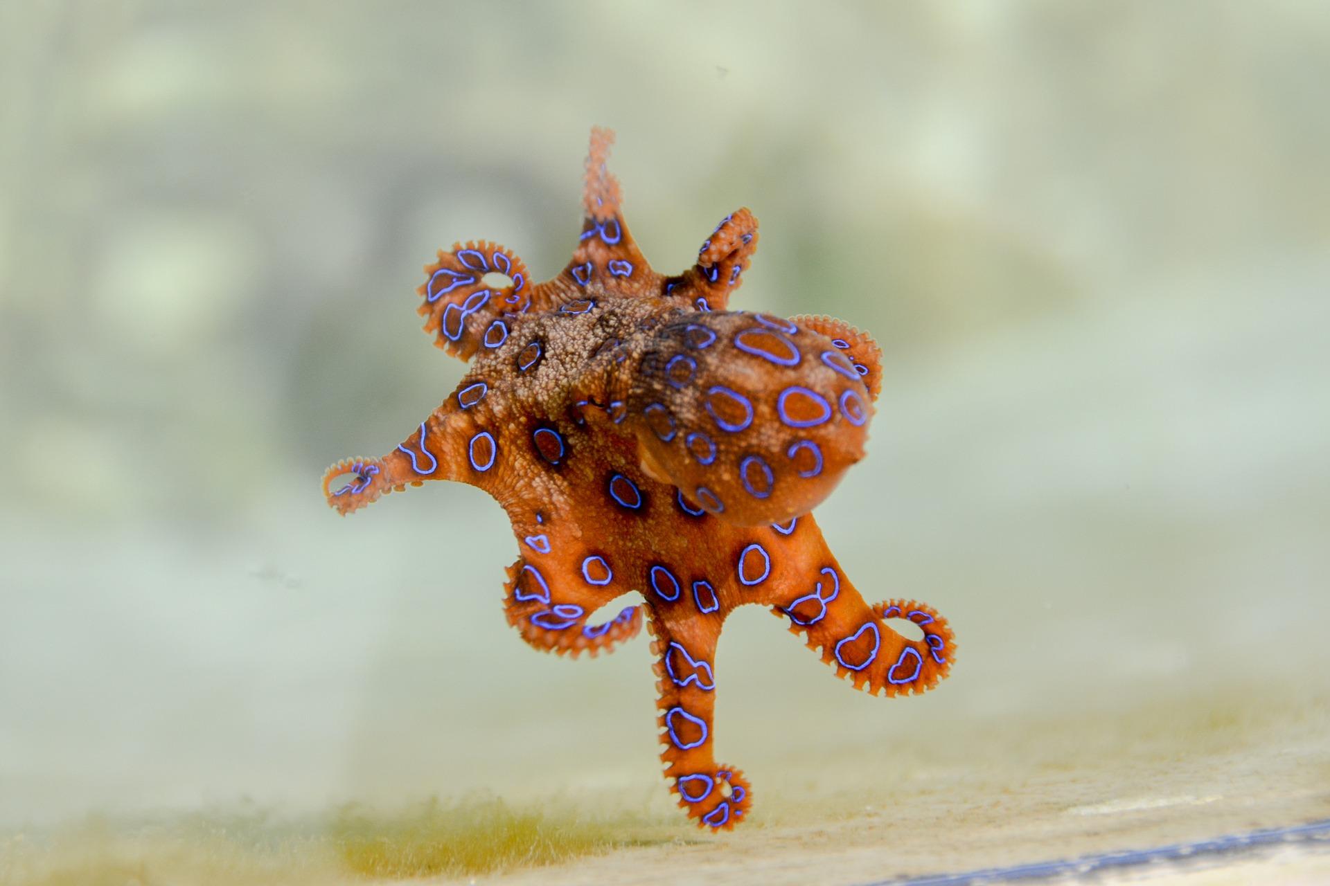 blue-ringed-octopus-2414408_1920.jpg