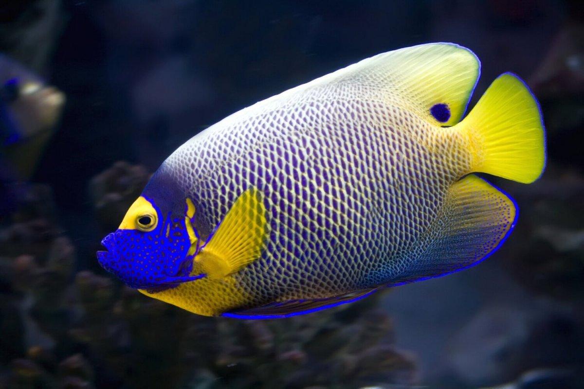 blueface+angelfish.jpg